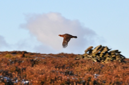 Red Grouse TM