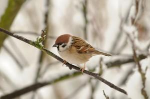 Tree Sparrow 0018a_lowrespcr