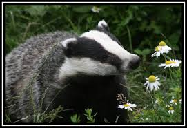 Badger & mayweed
