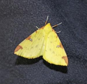 Opisthographis luteolata Brimstone Moth (70.226). Image: Simon & Karen Spavin